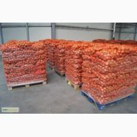 Продам красный репчатый лук