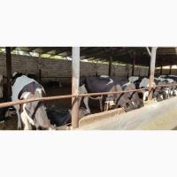Дойные коровы-Голштино-фризская порода
