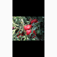 Prodam Pomidor optom