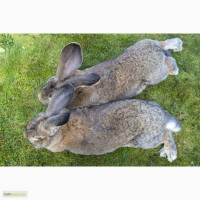 Куён - кролики