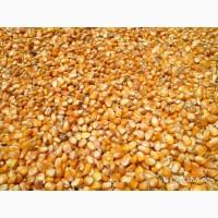 Продажа кукурузы оптом