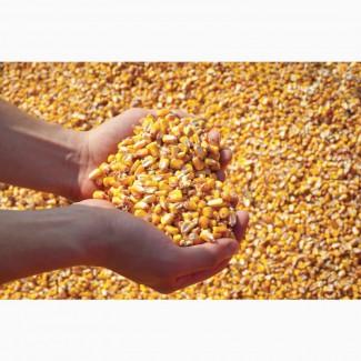 Продам кукурузу кормовую (фуражная)