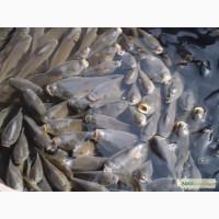 Продажа рыб сеголеток